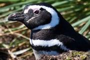 На Фолклендах обитают пингвины. // Travel.ru