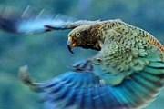 В павильоне поселятся попугаи разных видов. // keaconservation.co.nz