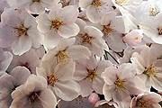 Сакура цветет // Instagram / @geborinchi