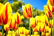 Посетители узнают о значении тюльпана в искусстве и культуре страны. // mrwallpaper.com