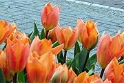 Тюльпаны – символ Нидерландов. // iamsterdam.com