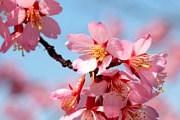 Фестиваль цветущей вишни пройдет в Будапеште. // njbusymom.blogspot.com