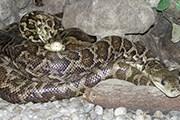 В числе обитателей экзотариума - змеи. // zoo.kaliningrad.net
