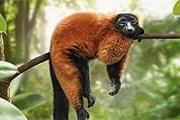 Обитатель мадагаскарского павильона зоопарка. // zuerich.com