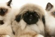 Под запрет попали животные с плоскими мордами. // kittystampede.blogspot.com