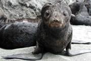 В заповеднике можно увидеть морских котиков. // beringisland.ru