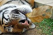 """На Пхукете будет свое """"Королевство тигров"""". // thailand-news.ru"""
