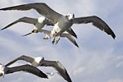 Чайки ведут себя слишком агрессивно. // yunphoto.net