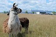 Ламы съедают ненужную траву. // Jason Keyser / AP