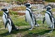 У пингвинов начинается брачный период. // Travel.ru