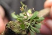 В Эквадоре растет самая маленькая в мире орхидея. // bubblews.com