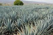 Мескаль - традиционный мексиканский напиток из сброженного сока агавы. // mawdizzle.com