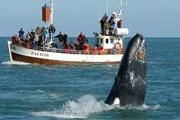 Туристам нравится любоваться китами. // whales-gentlegiants.is