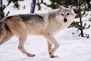 Туристы увидят йеллоустонских волков вблизи. // Yellowstone Association