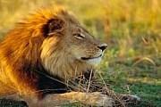 В дельте Окаванго водится множество львов. // Robert Harding World Imagery