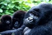 Горные гориллы - исчезающий вид. // Martin Harvey