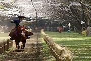 Ябусамэ - зрелище редкой красоты. // azert.com