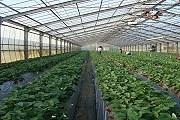 Клубника выращивается в больших парниках. // tokyoweekender.com