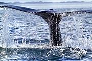 Киты у берегов Гренландии не боятся людей. // greenland.com