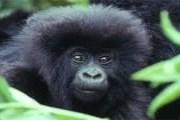 Рождение маленьких горилл - настоящее событие в Руанде. // rwandatourism.com