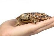 В зоопарке поселится плоскопанцирная черепаха. // petinforce.com