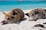 Свиней на остров, возможно, завезли пираты. // buenolatina.ru