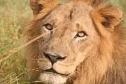 Львов в мире становится все меньше. // Richard Baker