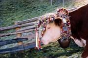 Для праздника коров украшают лентами и цветами. // steiermark.com