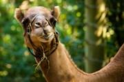 В крепости есть своя верблюжья ферма. // evantravels, Shutterstock.com