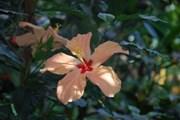 В ноябре можно увидеть цветущий гибискус. // botaanikaaed.ee