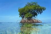 Мангровые деревья могут достигать 15 метров в высоту. // Vilainecrevette, Shutterstock.com