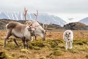 Весной олени появляются на свет.  // Incredible Arctic, Shutterstock.com