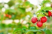 Фестиваль малины пройдет 11 июля 2015 года.  // Grisha Bruev, Shutterstock.com