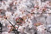 Начало цветения сакуры // japan-guide.com