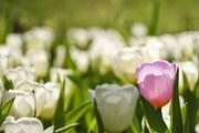 Фестивали тюльпанов пройдут в Италии