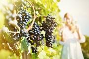 Туристов познакомят с виноделием юга России.  // Capricorn Studio, Shutterstock.com