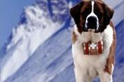 Сенбернар - символ швейцарских Альп.