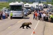 Черные медведи развивают большую скорость. // yellowstonegate.com