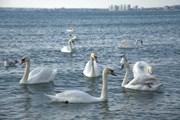 Лебеди у анапского берега // Travel.ru