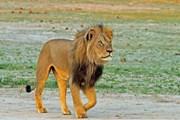 Знаменитый лев Сесил был гордостью парка Хванге. // Paula French, BBC