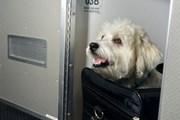 Животные летают с комфортом. // American Airlines