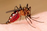 Переносчиками лихорадки Денге являются комары Aedes aegypti. // dailymail.co.uk