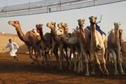 Верблюжьи бега - традиционное развлечение эмиратцев.