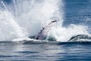 Горбатые киты приплывают к берегам  Доминиканы. // Министерство туризма Доминиканы.