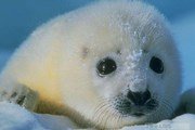 Белёк - детеныш тюленя // zooclub.ru