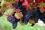 Чешские вина можно будет сравнить с импортными. // czechtourism.com
