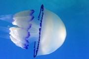 Посетителям предложат блюда из медуз Rhizostoma Pulmo. // YouTube