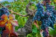 Осень - винная пора. // chipolletto.com