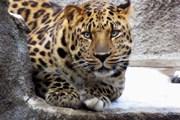 Понаблюдать за кошачьими посетители зоопарка смогут вечером.