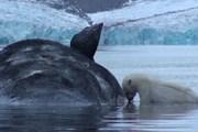Белые медведи собираются вокруг туши кита. // videoblocks.com